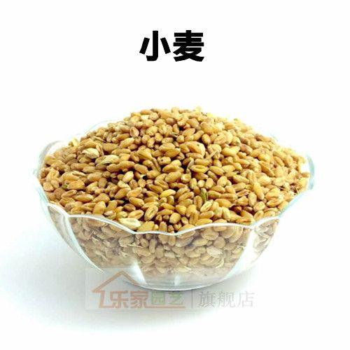 健康食品 麦草种子 有机小麦草种子 发芽率99%.一