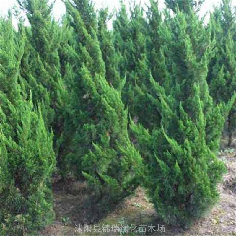 江苏龙柏基地 抛售1.5米1.6米1.7米1.8米2米龙柏移植苗