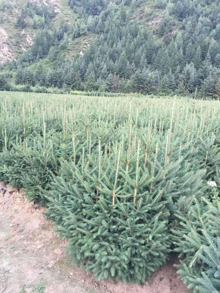 云杉樹苗價格 1米2米3米4米5米云杉苗木供應商報價