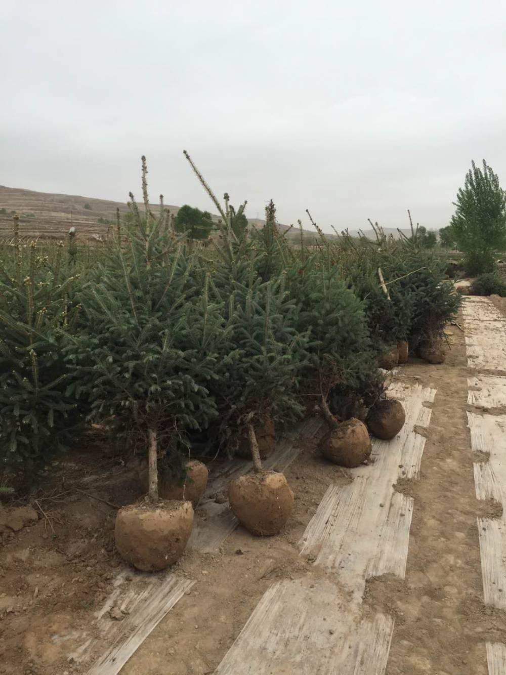 1 米2米3米4米5米6米云杉樹 , 精品云杉四季常青樹,綠化工程批發銷售