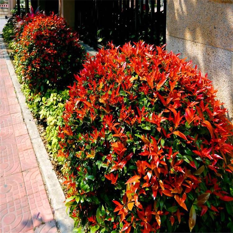 红叶石楠红叶石楠苗 红叶石楠基地 红叶石楠价格