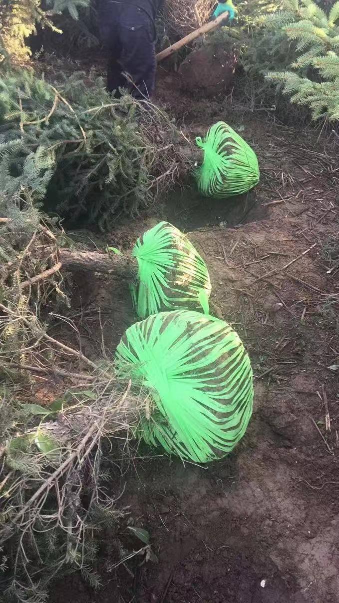 青海云杉基地 銷售1米2米3米4米云杉樹苗價格便宜
