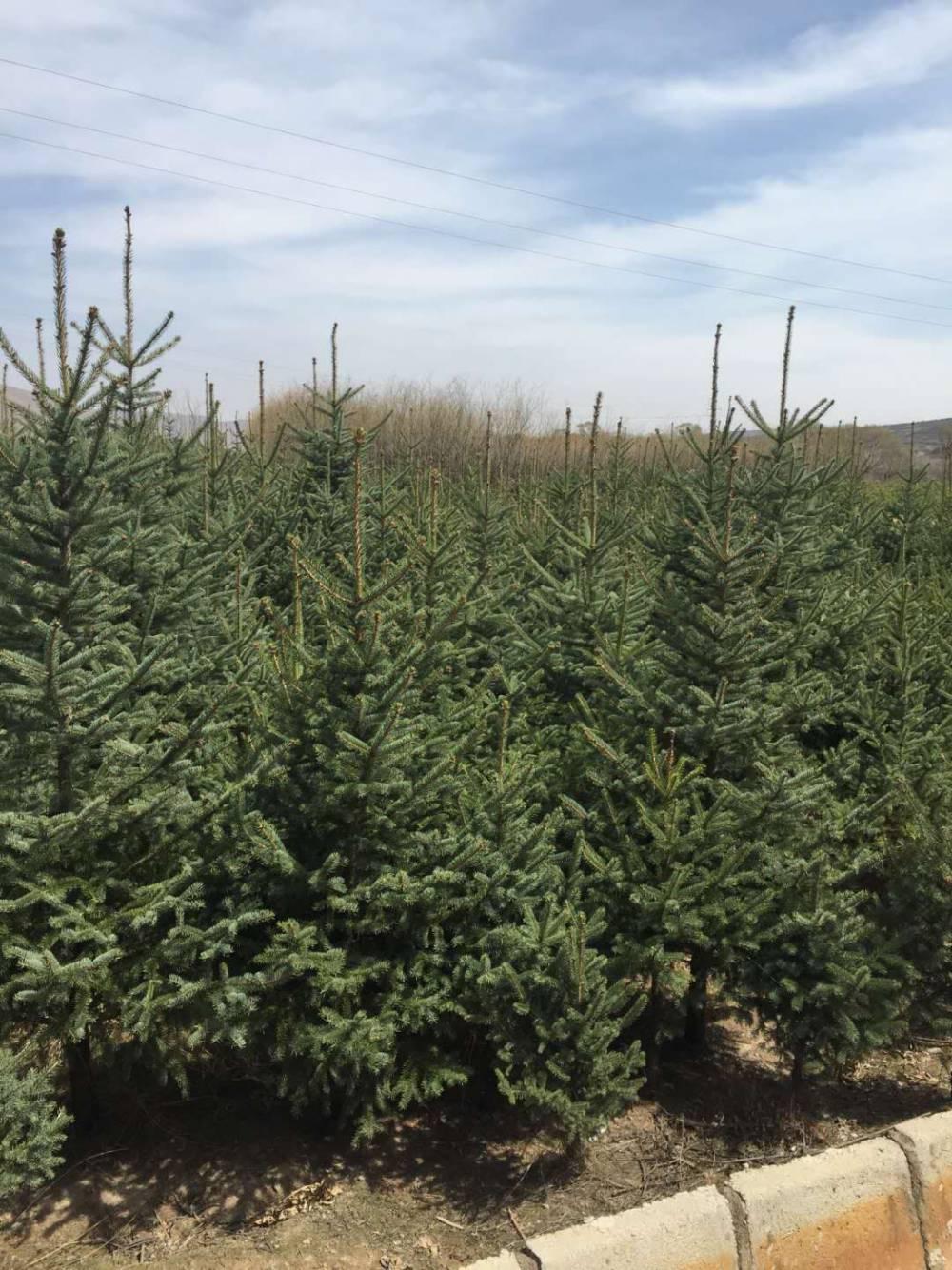 西藏云杉樹苗價格1米2米3米4米5米云杉苗木供應商報價