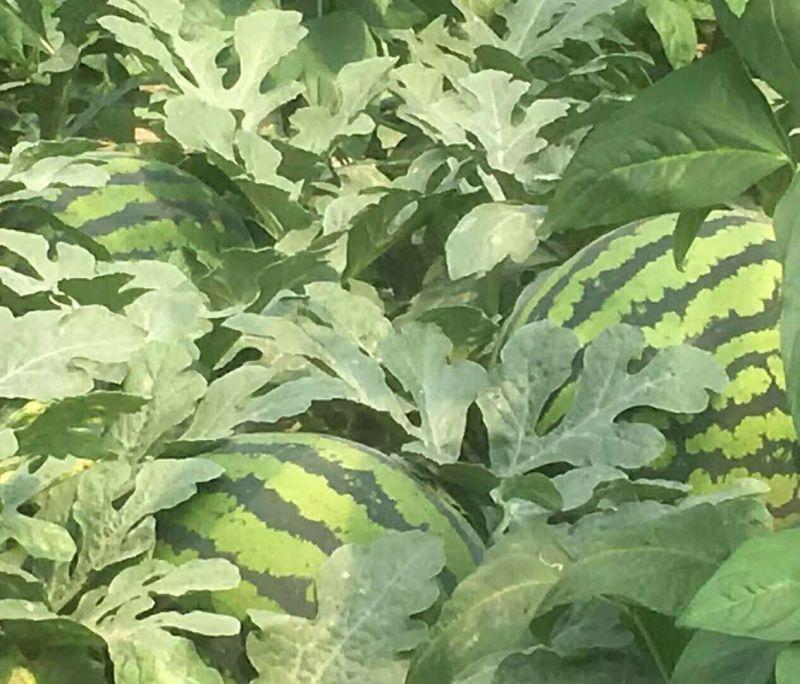 露地改良新品种双红抗病甜王西瓜种子露地西瓜种植表现