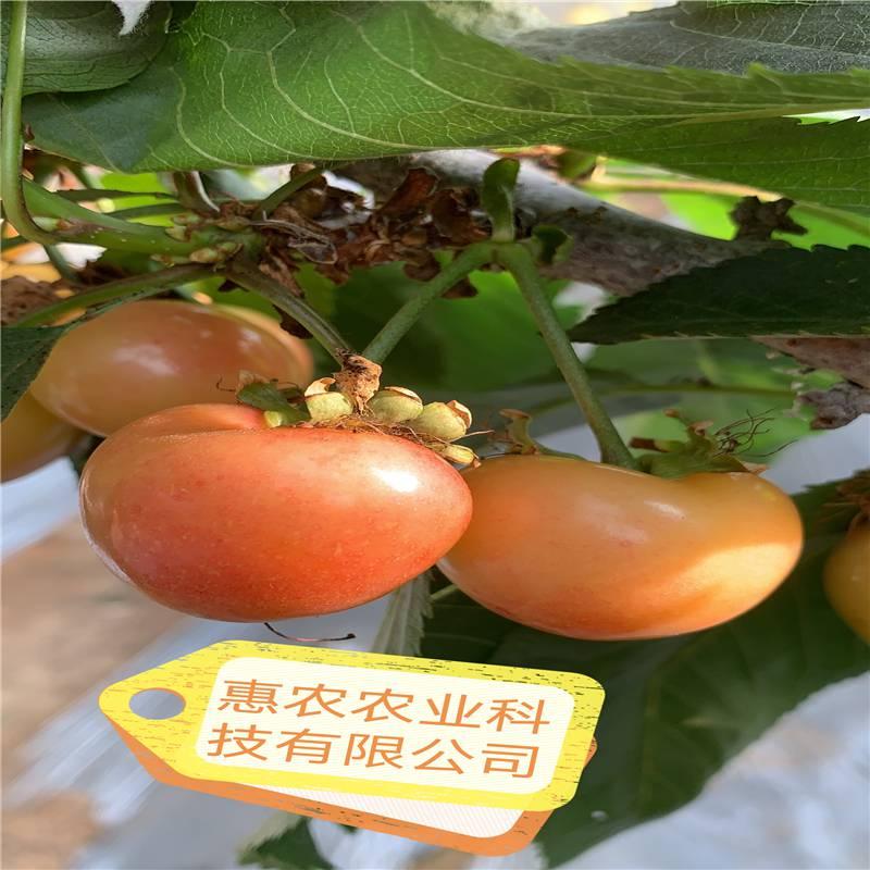 1-5辉煌樱桃苗报价 辉煌樱桃介绍 3年辉煌樱桃树价格