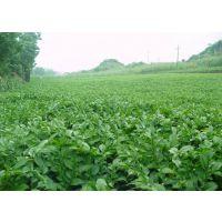 2016年****** 贵州魔芋种子供应商 二代种子30-300克 花魔芋种子 发芽率98%