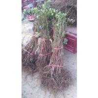 壹棵树农业葡萄苗批发 夏黑葡萄苗价格 大棚露地适合种植 两年种苗 无病虫害