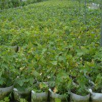 泰安开发区瑞康苗木园艺场供应***夏黑葡萄种苗 高度0.8m葡萄苗品种