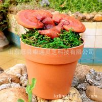 ***迷你小靈芝盆栽 活林芝 珍貴藥材 美觀大氣 桌面精品林芝盆栽