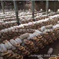 批發出售靈芝盆景盆栽靈芝菌包菌種活體靈芝菌種綠植盆栽 易管理