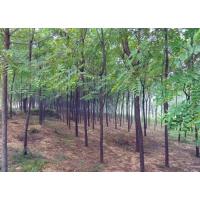 绿化苗木哪种的价值高?美国黑核桃苗,美国黑核桃树
