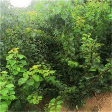 河北杏树苗、杏子树苗金太阳杏树苗价格_1-5公分杏树成苗_出售杏树苗