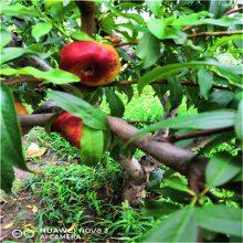 山东果树基地易成活春艳桃树苗 一手货源抗旱抗寒金秋红桃树苗