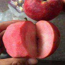 烟富10苹果树 众成3号苹果树苗批发 正一 种植技术要求