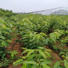 拉宾斯樱桃树苗现挖现卖 新品种车厘子樱桃苗 正一 三公分大樱桃苗