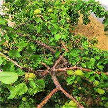 杏子树苗、四川杏树苗金太阳杏树苗价格_1-5公分杏树成苗_出售杏树苗