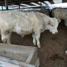 300斤左右肉牛犢價格養殖現貨直發