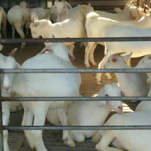 活羊价格表养殖厂现货供应