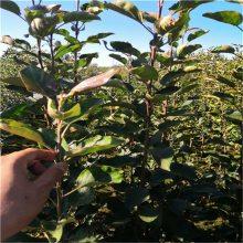 红肉苹果苗 脱毒苹果苗 品种苹果苗 红肉苹果苗价格