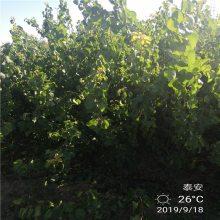 6公分杏树价格 珍珠油杏树 正一 ***