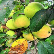 北京新品种苹果树苗价格_晚熟维纳斯黄金苹果苗_3公分苹果成苗批发