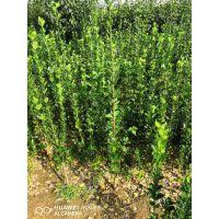 北海道黄杨哪家好 正一园艺场供应,北海道黄杨树