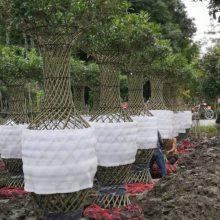 桂花花瓶批发基地 大量出售高杆桂花价格 批发金桂花瓶工程苗