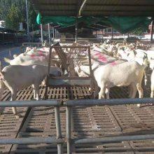 黑山羊养殖基地现货供应
