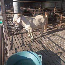 白山羊價格報價一只價格報價一斤現貨價格