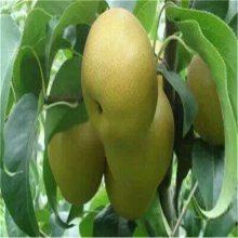 梨苗批发、3公分梨树苗单价怎么卖3公分梨树苗市场