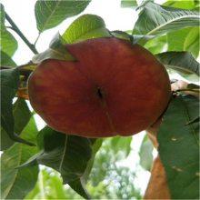 新品种黄桃苗、黄桃树苗_各种蟠桃树苗价格_早熟桃树苗当年结果桃树苗批发