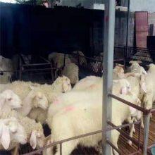 萨福克羊羊羔现货供应农场直发