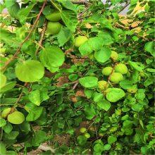 15公分杏树大山杏树 10公分果园杏树 正一 大小规格