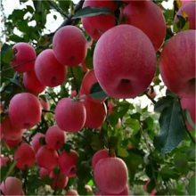 苹果苗、苹果树苗想种植新品种苹果苗的朋友看一下_晚熟维纳斯黄金苹果苗价格_3公分苹果成苗结果早
