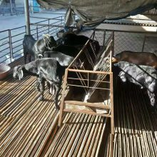 黑山羊幼崽專業養殖農場直發