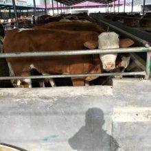 鲁西黄牛肉牛犊养殖