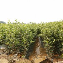 2年黑钻苹果树价格 中秋王苹果树 正一 管理技术