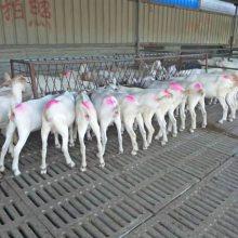 小奶羊羔養殖成本現貨價格