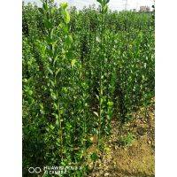 北海道黄杨树多少钱 正一园艺场,北海道黄杨种子
