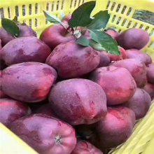 3公分早熟品种苹果树苗 3公分瑞雪苹果树 正一 报价表