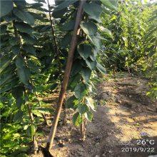 长期供应根系发达黄蜜樱桃苗 果树直销规格齐全兰丁二号樱桃苗