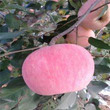 5公分红富士苹果树苗 黑苹果苗 正一 货源充足