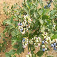 正一园艺场直销:蓝莓苗多少钱一棵 蓝莓苗多少钱
