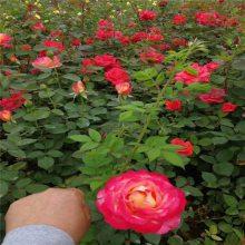 周至月季苗批发 红花月季 粉花月季 丰花月季 沙曼莎品种月季供应