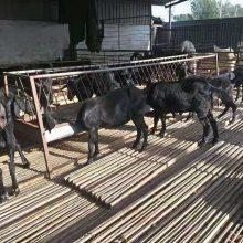 黑山羊种羊价格报价一只养殖技术现货价格