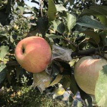 预订华硕苹果树 5年美国八号苹果树 正一 脱毒培育