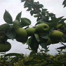 烟富10苹果树 3年众成3号苹果树苗 正一 成活率高