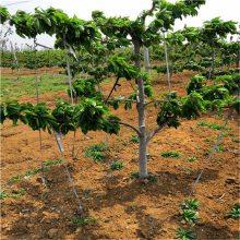 樱桃苗_罗亚理樱桃苗_适合南方种植的樱桃品_种植技术全程免费指导