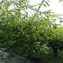 甜脆枣子树苗枣树成品苗价格_枣树苗基地_3公分粗的多少钱