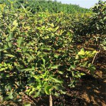 清地处理易成活占地山楂苗 供应植株健壮歪把红山楂苗